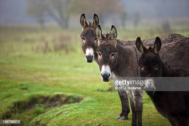 donks - jackass images stock pictures, royalty-free photos & images