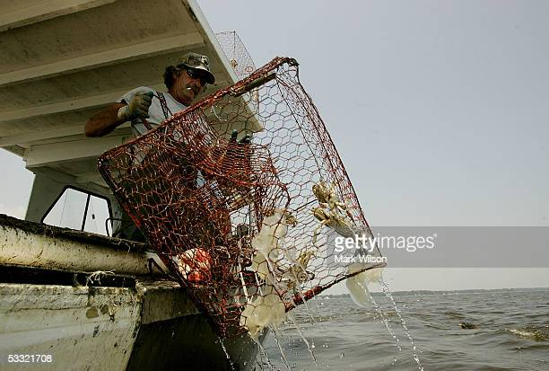 Donnie Eastridge aboard the commercial crabbing boat Foxy Roxy pulls in a crab pot filled with Blue Crabs and a few Sea Nettles on the Chesapeake Bay...