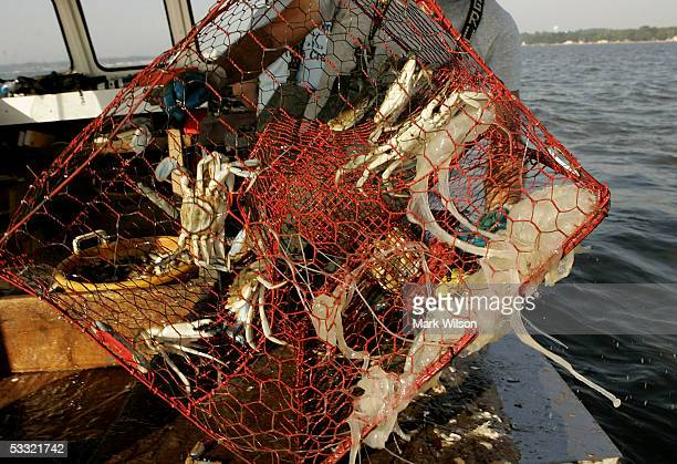 Donnie Eastridge aboard the commercial crabbing boat Foxy Roxy pulls in a crab pot full of Blue Crabs and a few Sea Nettles on the Chesapeake Bay...