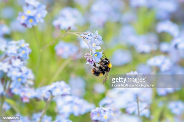 Don't Be Forgetting Me! Bumblebee And Forget-Me-Nots