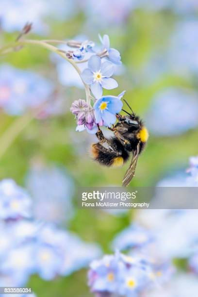 don't bee forgetting me! - bumblebee stock pictures, royalty-free photos & images