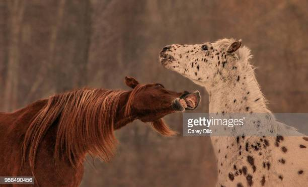 don't give me any lip - appaloosa stock pictures, royalty-free photos & images