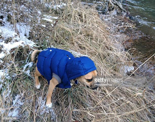 i don't like it - パグル犬 ストックフォトと画像