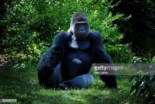 don't mess with me... - gorila lomo plateado fotografías e imágenes de stock