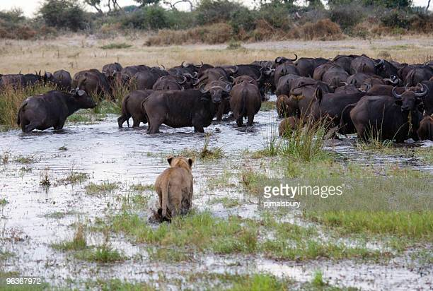 don't panic - okavango delta stock pictures, royalty-free photos & images