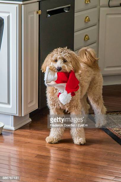 Doodle Holding Santa Hat In Mouth At Home