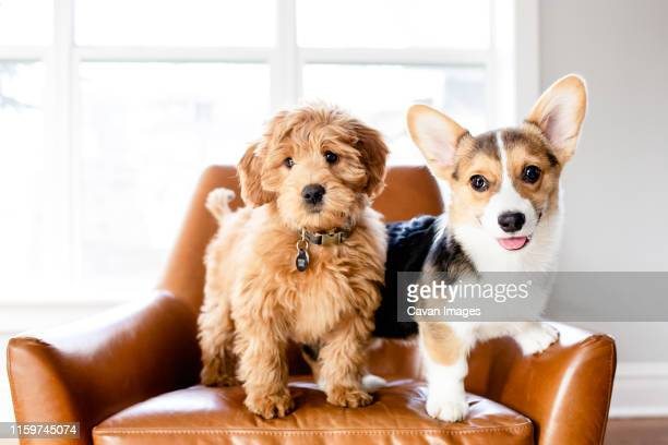 doodle puppy and corgi puppy standing in leather chair indoors - goldendoodle stock-fotos und bilder