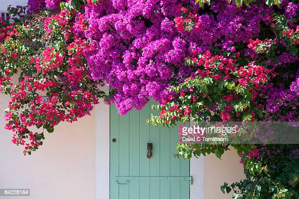 door shaded by bougainvillea, porquerolles, france - bougainville stock photos and pictures