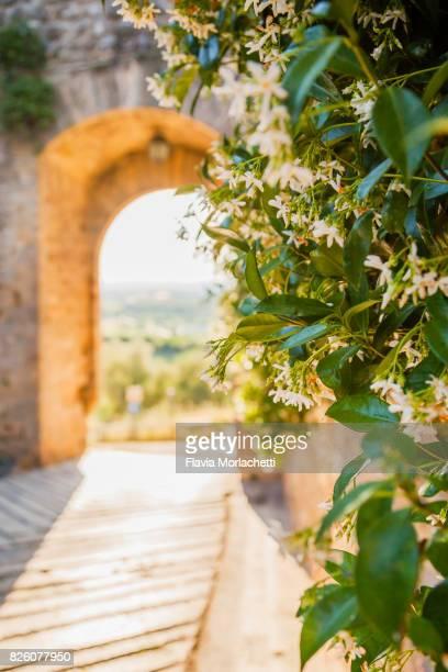 door with jasmine in monteriggioni, tuscany - jasmin bildbanksfoton och bilder