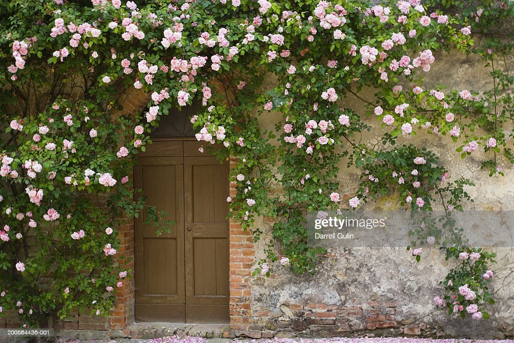 Doorway covered with pink rose flowers : Stockfoto