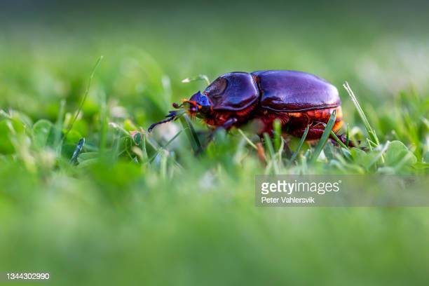 dor beetle - biggest stock pictures, royalty-free photos & images