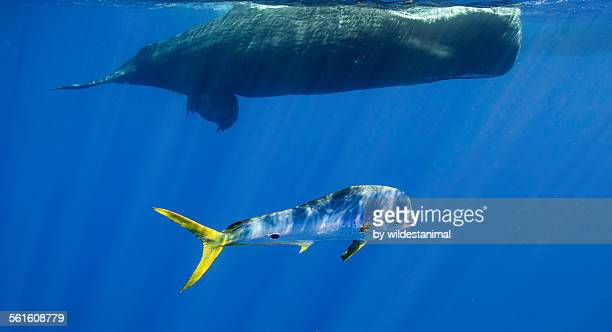 dorado and whale - dolphin fish stock pictures, royalty-free photos & images