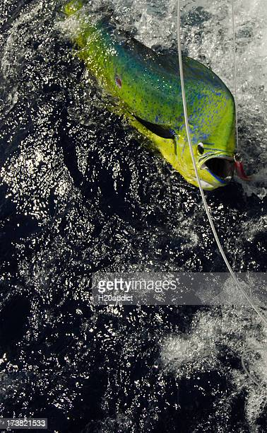 dorado caught game fishing in the tropics - big game fishing stock photos and pictures