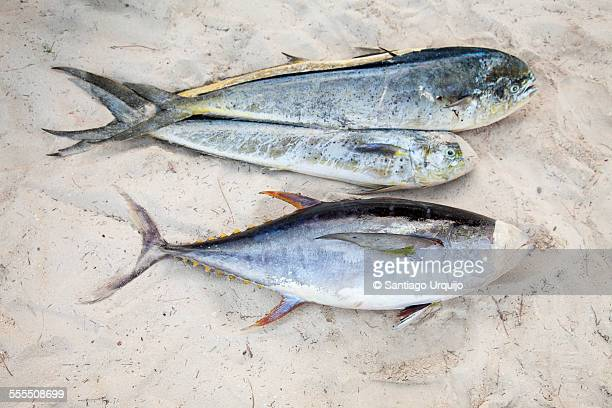 Dorados and tuna catch lying on the sand