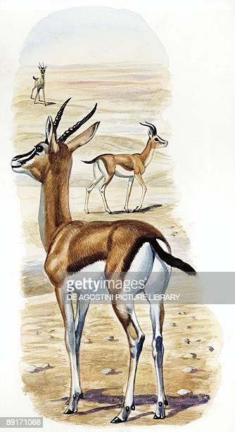 Dorcas Gazelle illustration