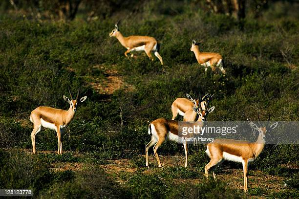 dorcas gazelle (gazella dorcas) in souss-massa national park, morocco, north africa - massa stock pictures, royalty-free photos & images