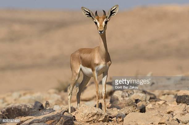 Dorcas Gazelle (Gazella dorcas) stands on a little rocky hill