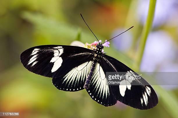 doris mantis schmetterling - ogphoto stock-fotos und bilder