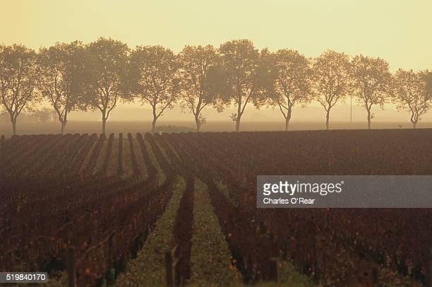 Dormant Grape Plants in Vineyard