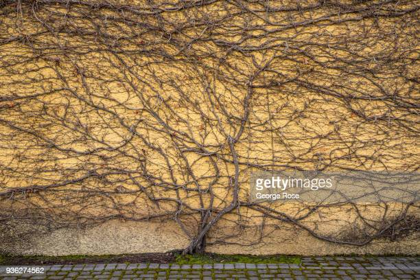 Dormant ivy covering a wall at Jordan Vineyards Winery in the Alexander Valley is viewed on March 9 near Healdsburg California Following a dry winter...