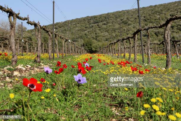 Dormant vines are contrasted by a carpet of colorful wildflowers during pruning at Dalton winery's premier vineyard on February 26 2019 in Elkosh in...