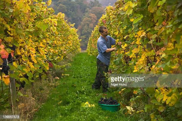 Dornfelder grapes being harvested at the end of October, at Sharpham Vineyard, nr Totnes, Devon, Great Britain.