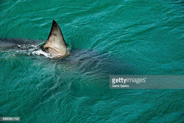 Dorsal aileron fin of a Great White shark (Carcharodon carcharias) swimming near water surface, Gansbaii, South Africa
