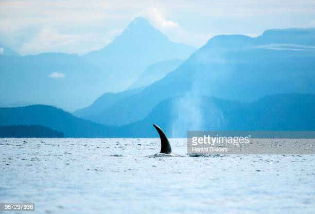 dorsal fin of an orca near campbell river in british columbia, canada. - vancouver island stockfoto's en -beelden