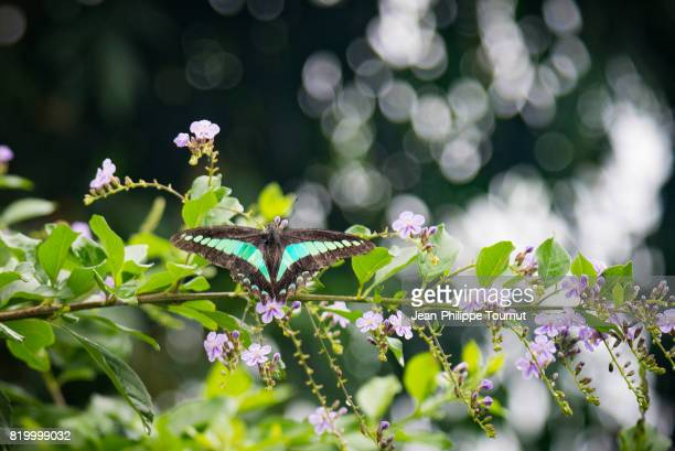 dorsal view of a common bluebottle (graphium sarpedon, blue triangle) in northern vietnam, southeast asia - flower part stock pictures, royalty-free photos & images