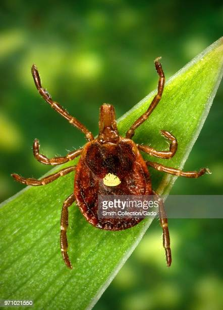Dorsal view of a female lone star tick 2006 Image courtesy Centers for Disease Control / Dr Amanda Loftis Dr William Nicholson Dr Will Reeves Dr...