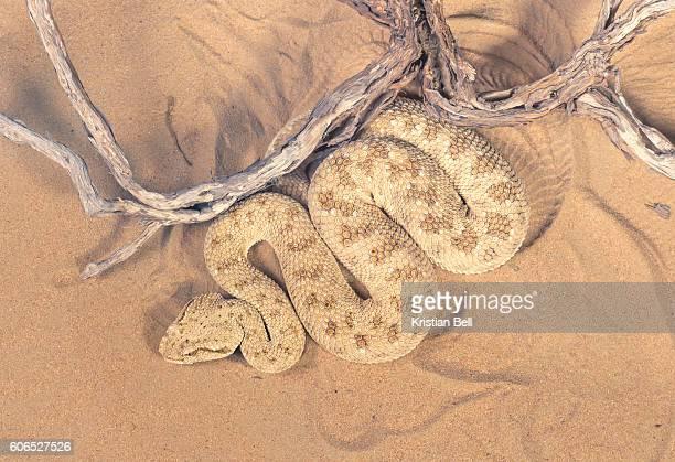 Dorsal view of a wild desert viper (Cerastes gasperetti) in UAE