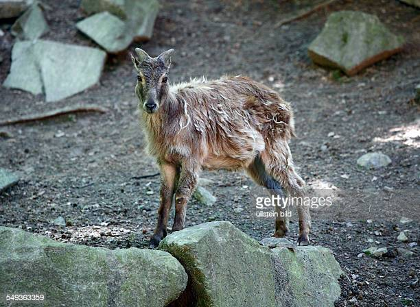 DortmundBruenninghausen zoological garden Dortmund Himalayan tahr Hemitragus jemlahicus
