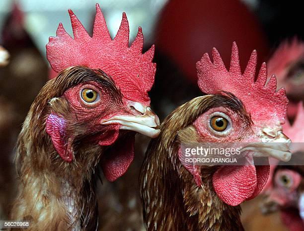 Dos gallinas aguardan a ser alimentadas en una finca avicola el 28 de octubre de 2005 en las afueras de Bogota Colombia Los avicultores colombianos...