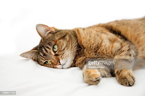 Dosmestic sick cat lying on white bed
