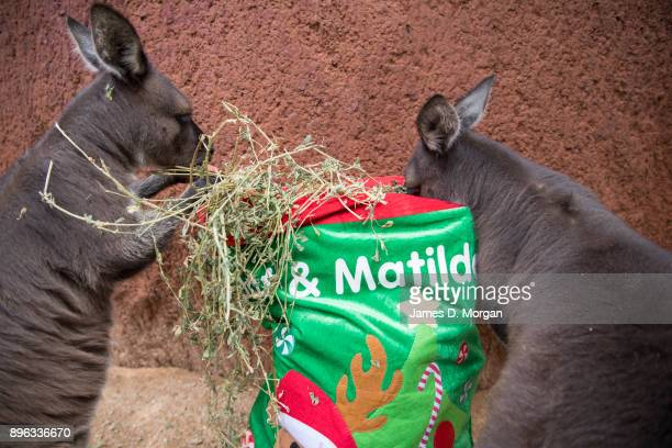 Dot and Matilda two Kangaroo Island kangaroos are given their Christmas stocking at Wild Life Sydney Zoo on December 21 2017 in Sydney Australia A...