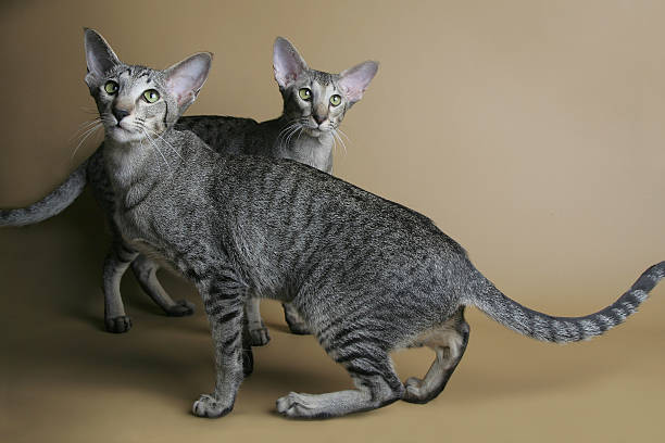 Dotted oriental cats dancing