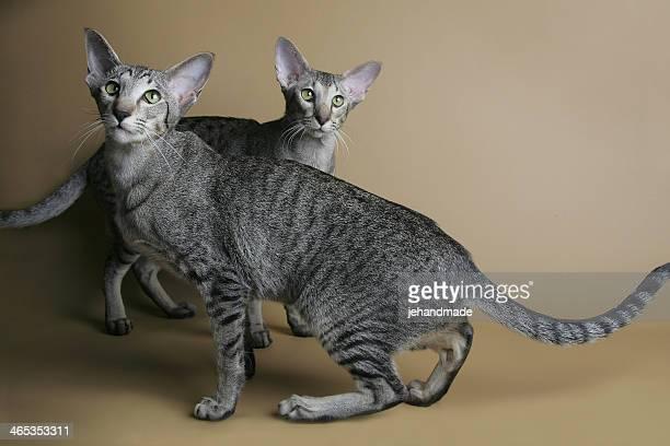 Gepunktete orientalische Katzen-Tanz