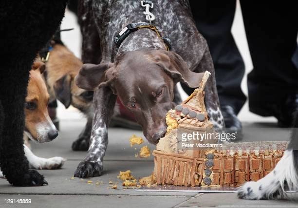 Dotty a shorthaired pointer belonging to Simon Kirby MP devours a Parliament shaped cake watched by a jack russell Maximus owned by Matthew Offord MP...