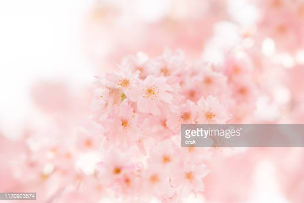 double cherry blossoms - 桜 ストックフォトと画像