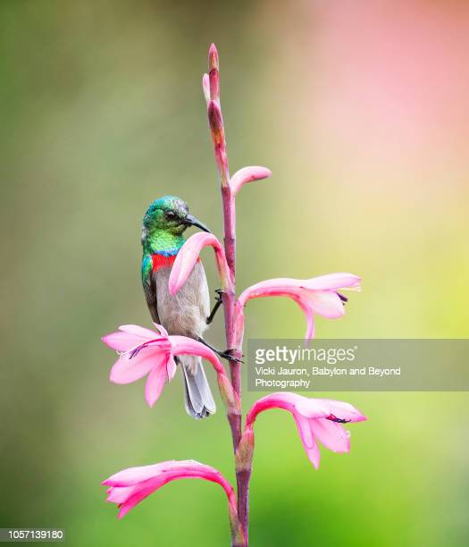 double collared sunbird on pink flower against soft background color - fynbos fotografías e imágenes de stock