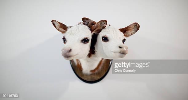 Double cow head