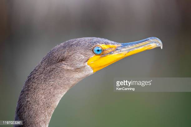 double -crested cormorant close up at everglades national park, florida - anhinga_trail foto e immagini stock