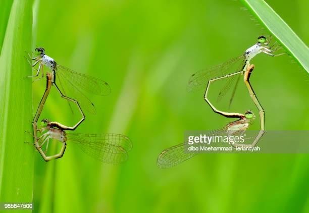 double date - dragonfly stock-fotos und bilder