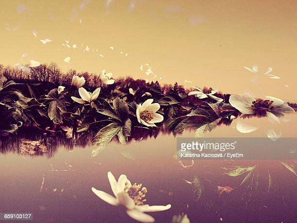 Double Exposure Image Of Anemone Flowers And River