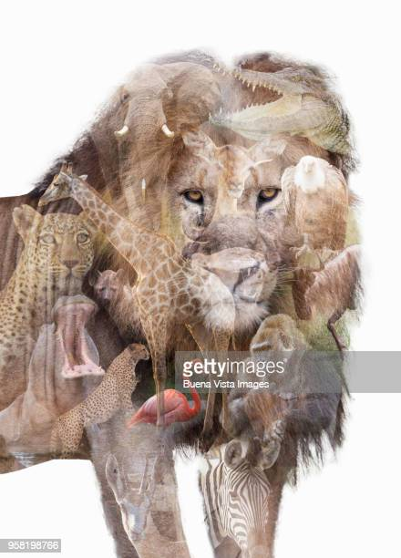 Double exposure of african animals over a lion