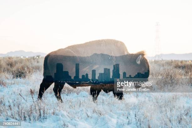 Double Exposure Of American Bison And Skyscrapers Against Sky