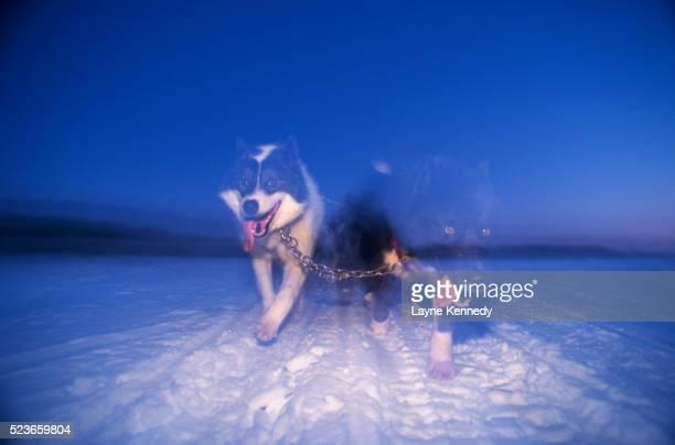 Double Exposure of Eskimo Dogs