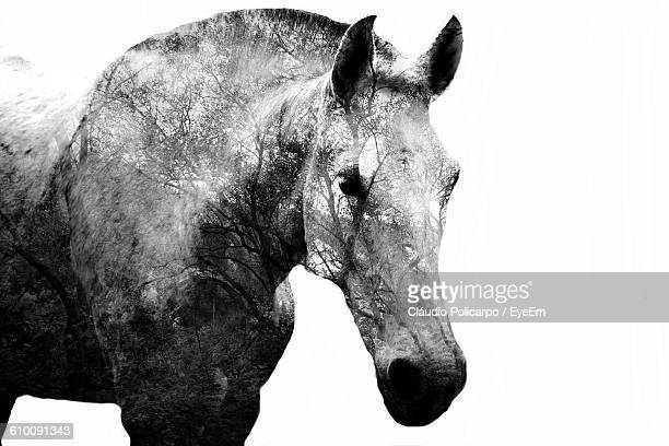 Double Exposure Of Horse And Trees Against White Background