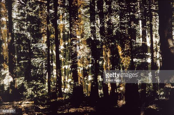 Double exposure on the same frame shifted to left gives a dense woodland effect Creation Book