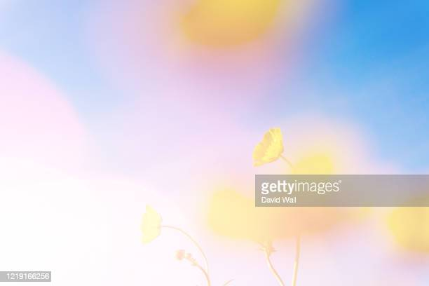 a double exposure with vintage light leaks of a close up of blurred buttercups (ranunculus) with an abstract, experimental dream like edit. - springtime stock pictures, royalty-free photos & images